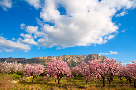 Foto de Mongo in Denia Javea in spring with almond tree flowers Alicante Spain - Imagen libre de derechos