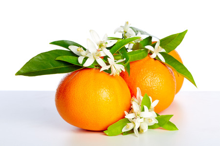 Photo for Oranges with orange blossom flowers in spring on white background - Royalty Free Image