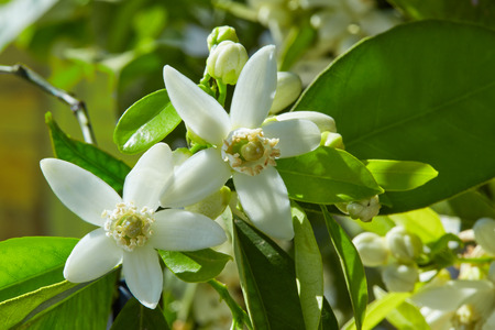 Photo pour Orange blossom flowers in a tree in mediterranean Spain - image libre de droit