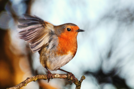 Photo pour Robin redbreast ( Erithacus rubecula) on a branch of a winter woodland tree - image libre de droit