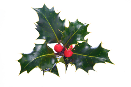 Photo for A sprig of Christmas holly on a white background. - Royalty Free Image