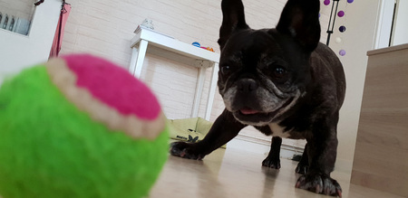 Photo pour French bulldog playing with tennis ball - image libre de droit