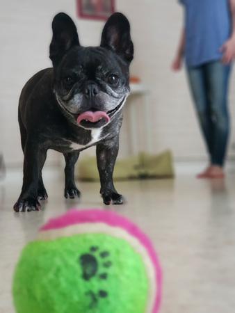 Photo pour French bulldog playing - image libre de droit
