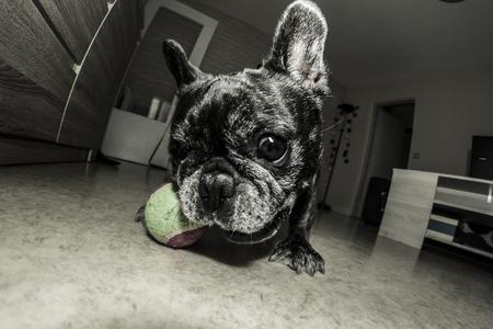 Photo pour French bulldog playing his favorite game - image libre de droit