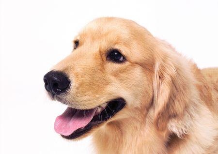 Close-up of a labrador