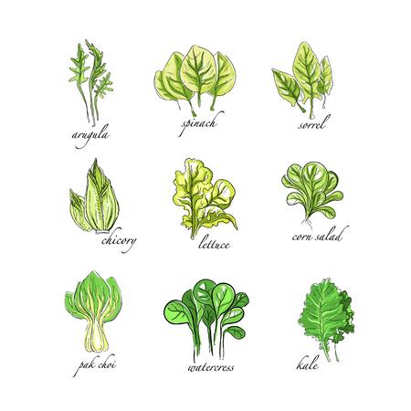Ilustración de Fresh herbs set, arugula, spinach, sorrel, chicory,lettuce, corn, bok choy, salad, watercress, kale plants hand drawn vector Illustrations on a white background - Imagen libre de derechos
