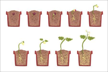 Ilustración de Plant Seed Growth, Development And Rooting Inside The Flower Pot, Classic Botany Textbook Educational Infographic Illustration. Cartoon Style Of Process Of The Sprout Going Out Of The Ground - Imagen libre de derechos