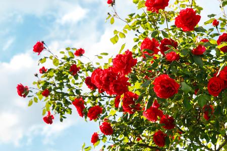 Photo pour Red roses bush in the garden - image libre de droit