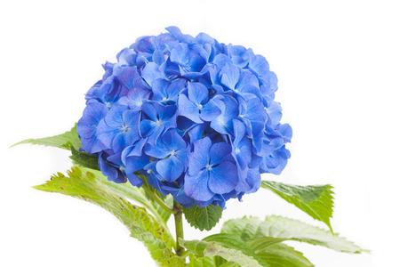 Photo for Blue Hydrangea macrophylla  flower isolated on white background - Royalty Free Image
