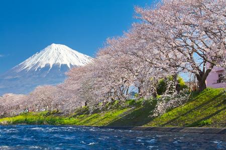 Foto de Mountain Fuji and cherry blossom sakura in spring season - Imagen libre de derechos