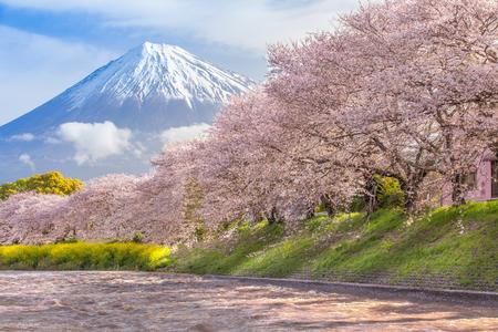 Foto de Beautiful Mountain Fuji and sakura cherry blossom in Japan spring season - Imagen libre de derechos
