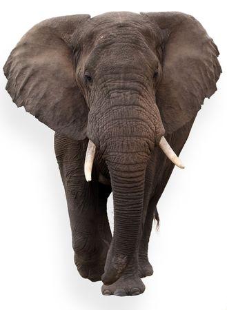 wild African elephant isolated on white background