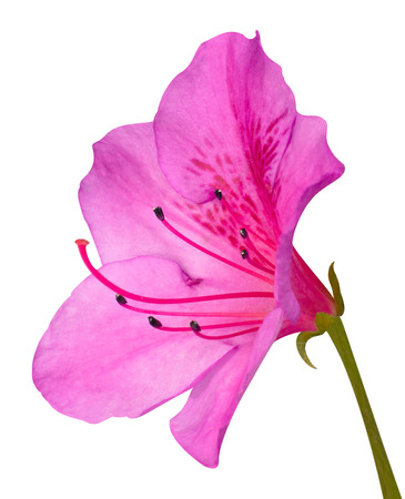 Photo pour Pink Azalea Blossom Macro with Green Stem Isolated on White Background - image libre de droit