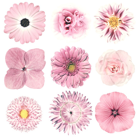 Photo for Selection of Various Flowers in Pink Vintage Retro Style Isolated on White Background. Daisy, Chrystanthemum, Cornflower, Dahlia, Iberis, Primrose, Gerbera, Rose. - Royalty Free Image