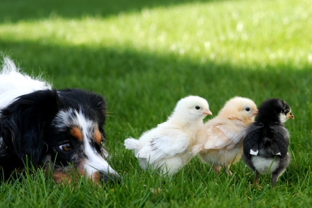 A watchful herding dog keeping an eye on her chicks