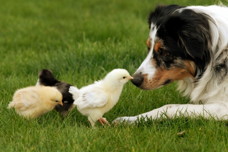A herding dog being very gentle with baby chicks