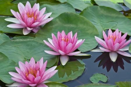 Photo pour pink water lily  - image libre de droit