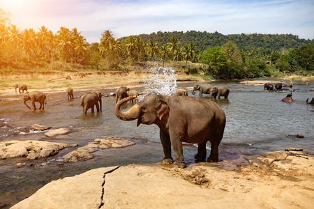Photo for Elephants bathing in the river. National park. Pinnawala Elephant Orphanage. Sri Lanka. - Royalty Free Image