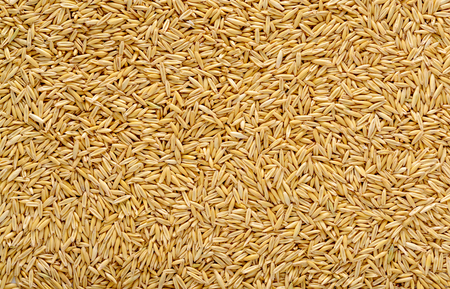 Photo for Ripe oat grains texture for background in high resolution - Royalty Free Image