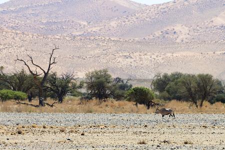 Photo for Oryx, Sossusvlei, Namib, Namibia - Royalty Free Image