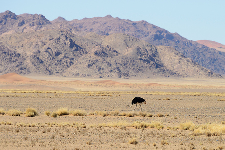 Photo for Ostrich, Sossusvlei, Namib, Namibia - Royalty Free Image