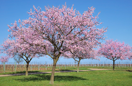 Photo pour Almond Blossom in Palatinate,Germany - image libre de droit