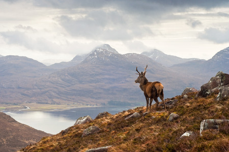 Foto de Wild stag overlooking Loch Torridon and the dramatic Wester Ross mountain range, Scotland - Imagen libre de derechos