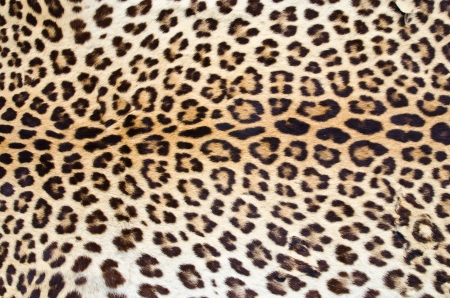 Real leopard hair for  background use