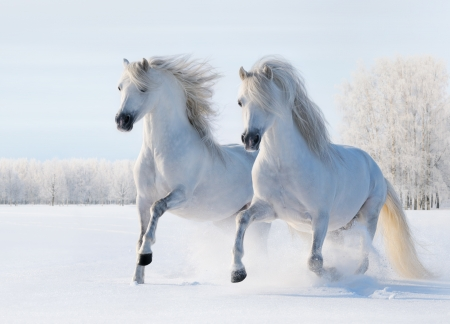 Photo pour Two white stallions gallop on snow field - image libre de droit