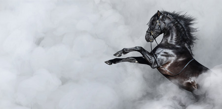 Photo pour Black Spanish horse rearing in light smoke. Horizontal photo with space for text. - image libre de droit