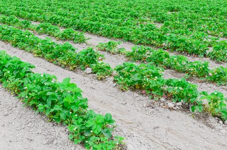 Photo for Endless strawberry field with flowers at peak bloom in Puyallup, Washington, America. Row of healthy plants with green strawberry fruits on mound of well worked soil with no weeds - Royalty Free Image