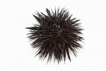 Foto de Purple sea urchin from Adritic sea, isolated on white background. - Imagen libre de derechos