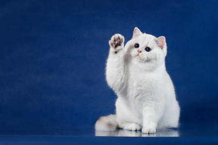 Photo for British white shorthair playful cat with magic Blue eyes put his paw up, like saying Hello. Britain kitten sitting on blue background with reflection, copy space for text. - Royalty Free Image