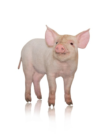 Small pig who is represented on a white background