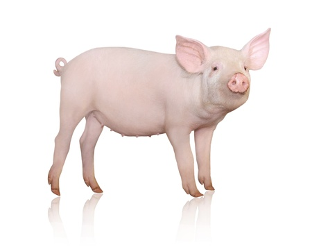 Foto de Pig who is represented on a white background  - Imagen libre de derechos