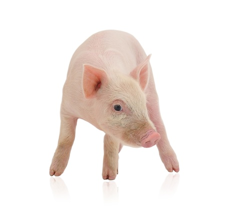 Pig who is represented on a white background
