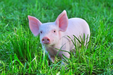 small pig on a grass