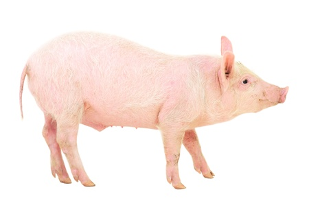 Pig who is represented on white background