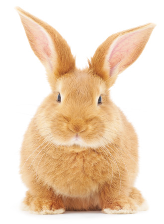 Photo for Isolated image of a brown bunny rabbit. - Royalty Free Image