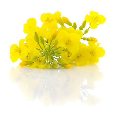 Photo for Mustard Flower blossom, Canola or Oilseed Rapeseed, close up , isolated on white background. - Royalty Free Image