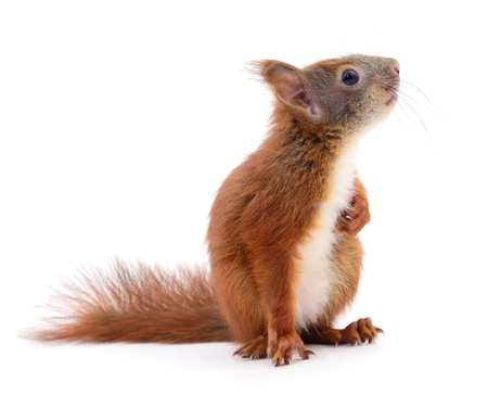Photo for Eurasian red squirrel isolated on white background. - Royalty Free Image