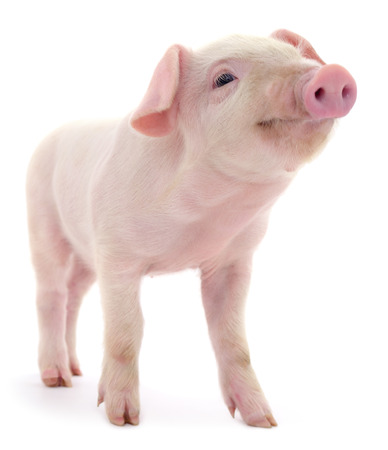 Photo pour Pig who is represented on a white background - image libre de droit