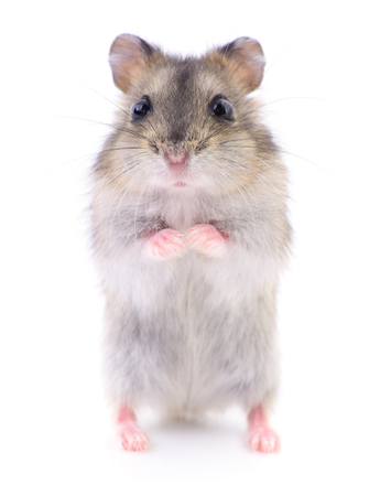 Photo for Small domestic hamster isolated on white background. - Royalty Free Image