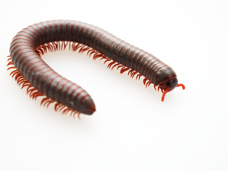 Photo pour Millipedes, insect with long body and many legs look like centipedes, worm, or train - image libre de droit