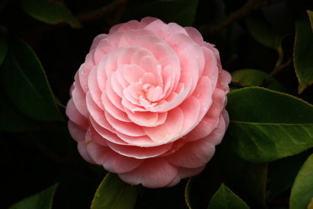 Photo for camellia - Royalty Free Image