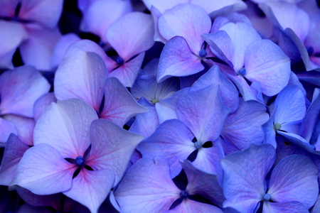 Photo for hydrangea close up - Royalty Free Image