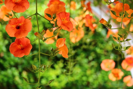 Photo for campsis grandiflora - Royalty Free Image