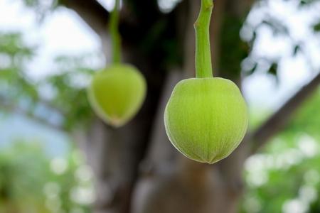 Foto de African baobab fruit or Monkey bread - Imagen libre de derechos