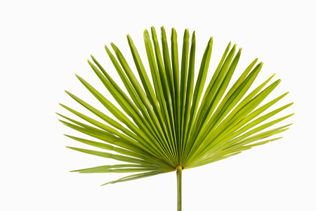 Photo pour Palm leaf on white background - image libre de droit