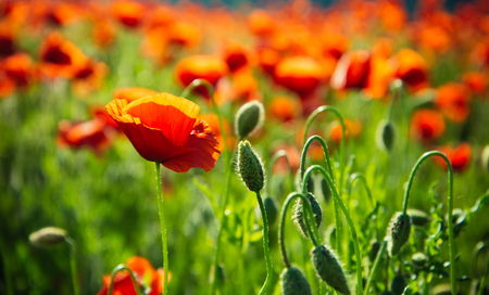Photo pour beautiful poppy seed field, red flower on green stem - image libre de droit